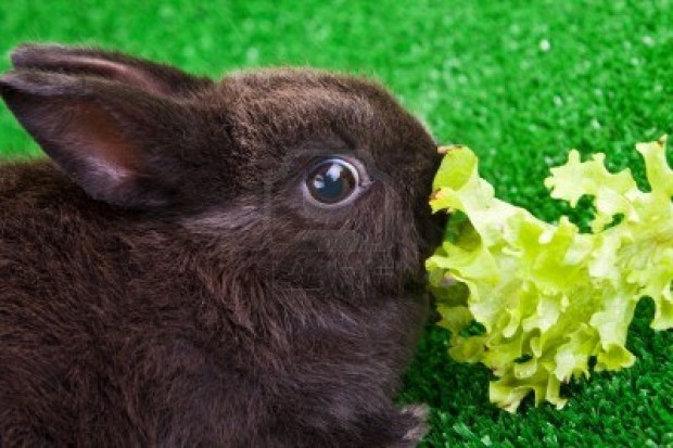 6667752-cute-little-bunny-eating-a-green-salad