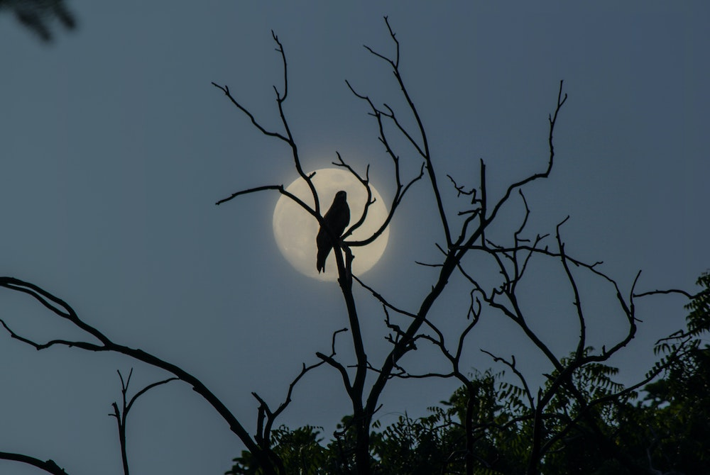 Large bird sitting in a leafless tree, silhouetted against the moonlight
